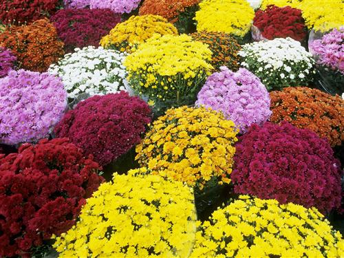 SPHS Horticulture taking orders for mums